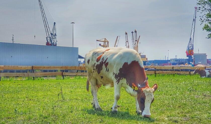 Grazende koe in de wei van Floating Farm