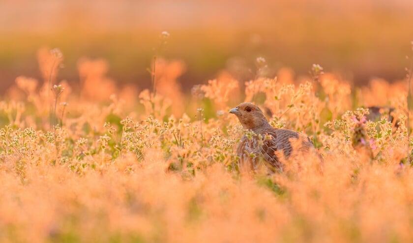Patrijs tussen vegetatie tijdens zonsondergang; Grey partridge between vegetation during sunset