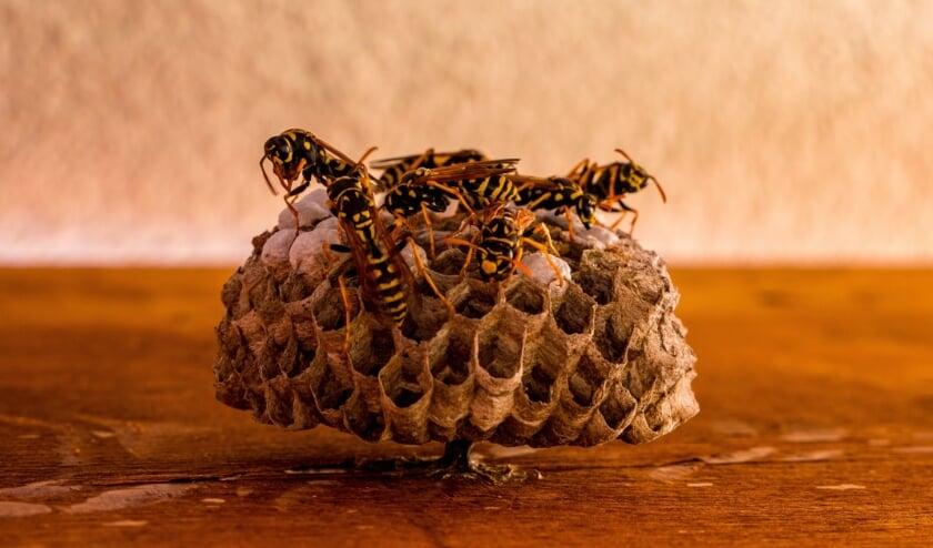 <p>Krijgen we deze zomer weer met fikse wespenplagen te maken? De wespenbestrijders van Beestjes Kwijt denken van wel.</p>
