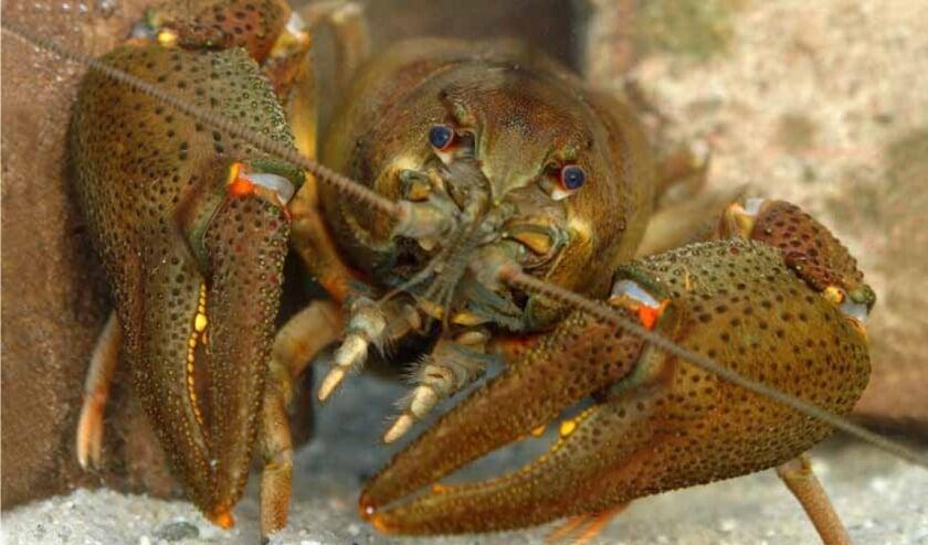 <p>Honderd Europese rivierkreeften zijn onlangs uitgezet in de vijver in het Bergherbos.</p>