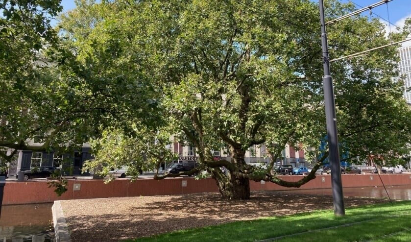 De Breytenbachboom aan de Westersingel is een van de twaalf genomineerde bomen in de Boom van het Jaar 2021 verkiezing. Foto: Fred Marree