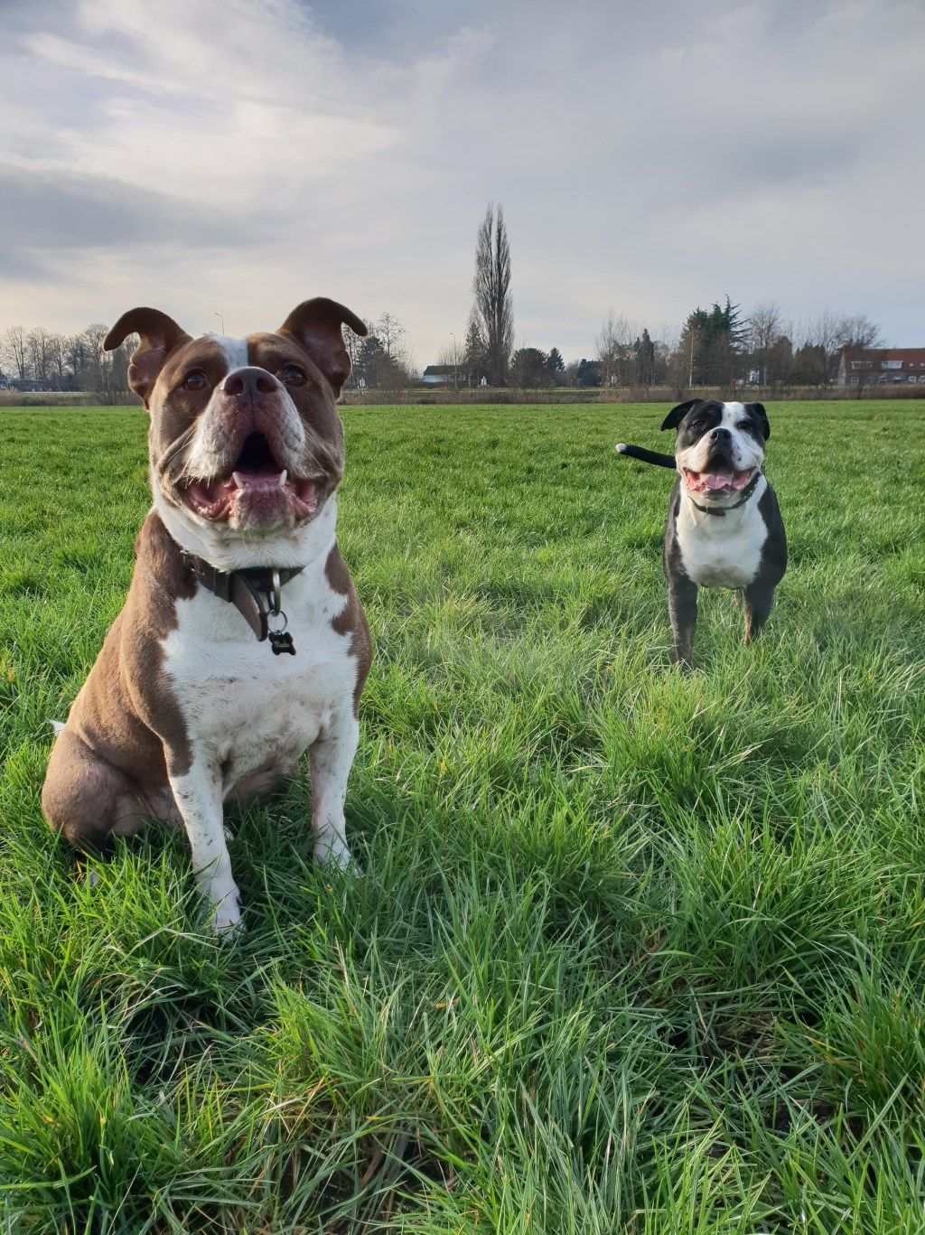 Macho en Bella (old english bulldogs) doen ook graag mee. (Anouk Huibers)  © deMooiLaarbeekkrant