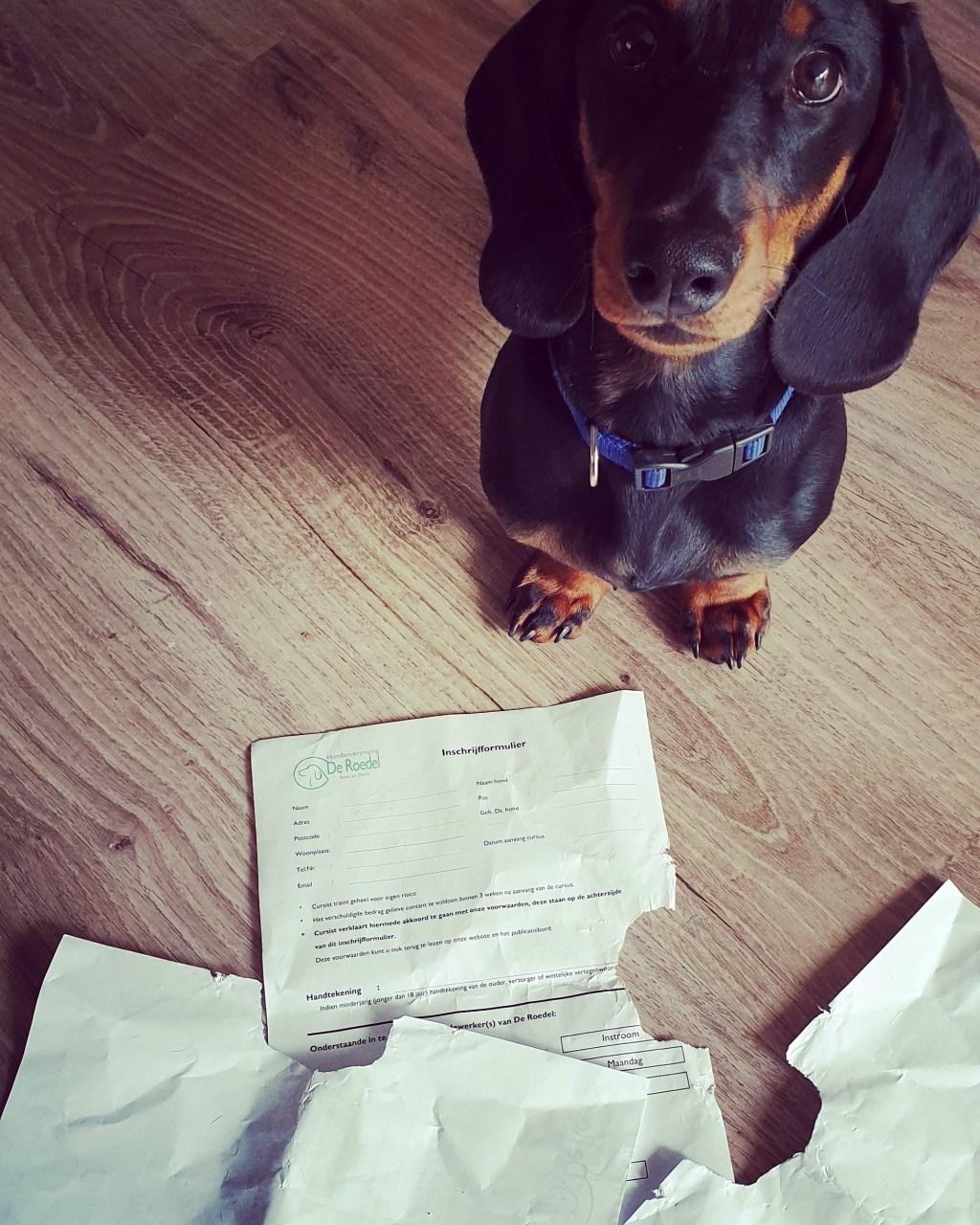Wij gaan met onze hond Ouzo naar de puppycursus over twee weken. We hadden al netjes het inschrijfformulier uitgeprint om mee te nemen maar zoals u ziet op de foto is Ouzo er nog niet helemaal uit of hij er naar toe wil.  (Jan en Marjan)  © deMooiLaarbeekkrant