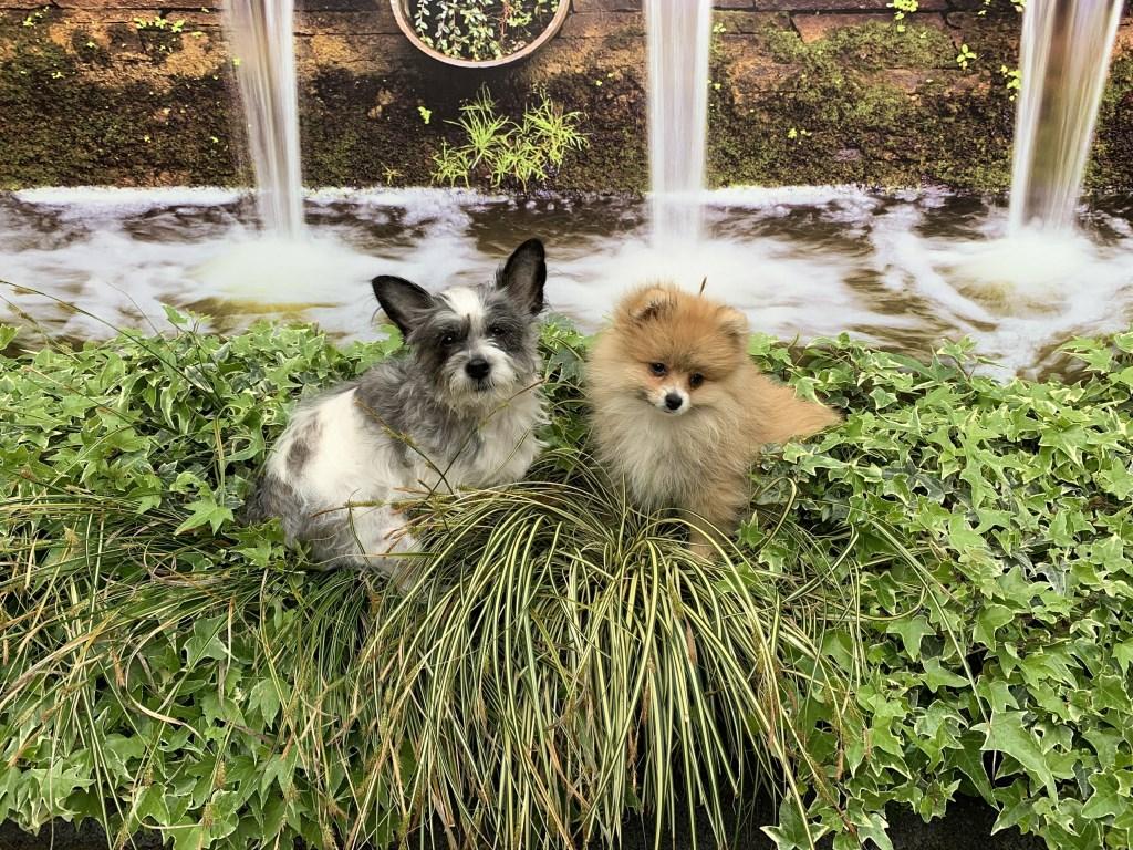 Deze twee schatjes, Luna en Senna Daniels, zijn hele lieve schattige dametjes. Ze houden heel goed de wacht en zijn super lief.  (Fam. Daniels)  © deMooiLaarbeekkrant