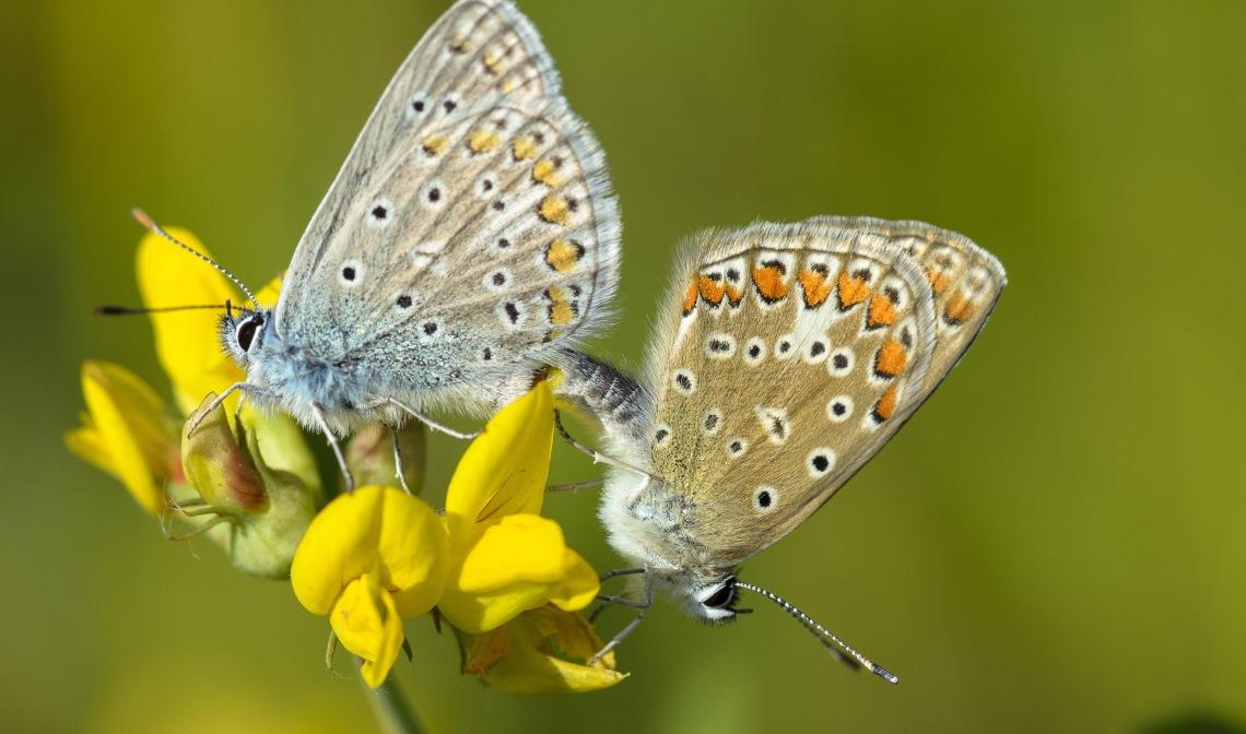 Icarusblauwtje (links het mannetje, rechts het vrouwtje)