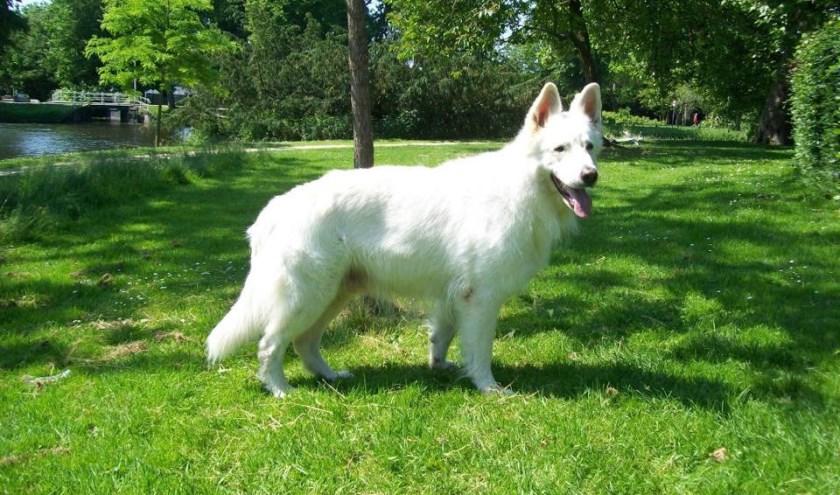 De witte herder is momenteel een heel populaire hond.