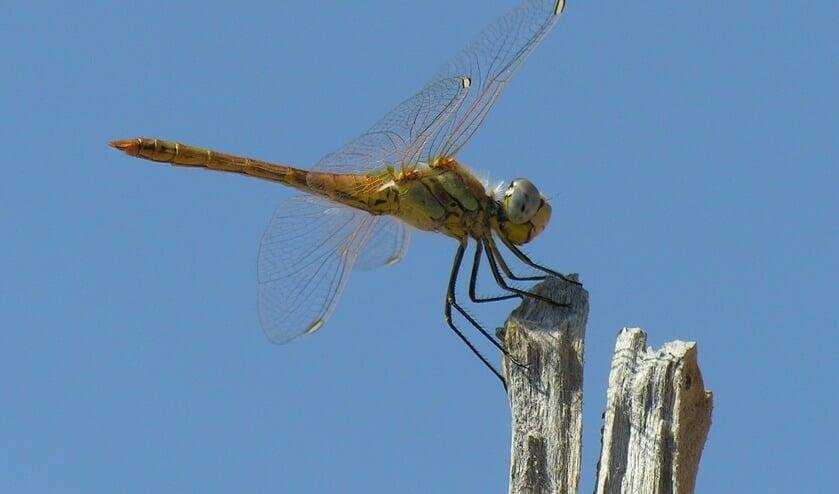Libellen maken geen glazen, bij ten geen paarden of puisten en snijden geen glas. Wel zijn ze heel mooi en interessant.