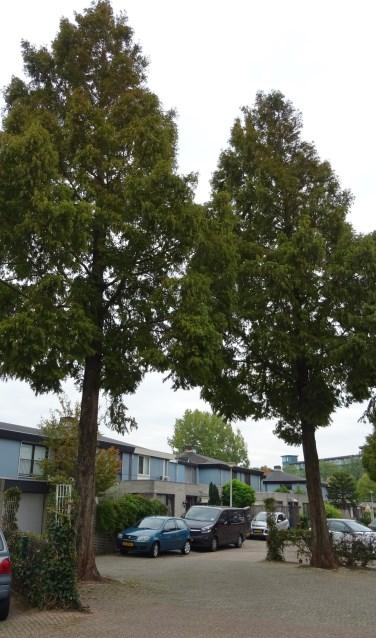 Twee van de gedoemde metasequoia's.   Foto: C. v.d. Laan