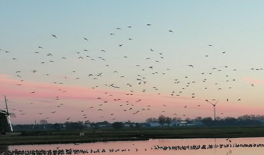 Een zwerm vogels in de lucht en in het water in de Munnikkenpolder.   Foto: Astrid Veerman