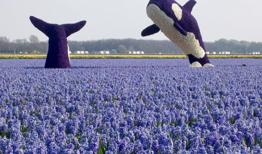 De springende orca's zijn goed voor de tweede prijs. | Foto: Piet de Boer