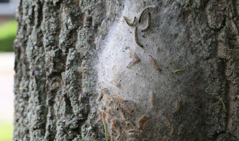 Eikenprocessierups op een boomstam. De haartjes van de rupsen veroorzaken bultjes en jeuk. | Foto: Wil van Elk.