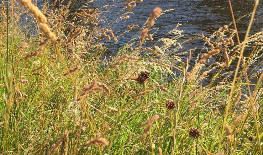 De bruine bollen, bestaande uit tien tot twintig kleine bolletjes, van de kraailook, aan de oever van de Oude Rijn.