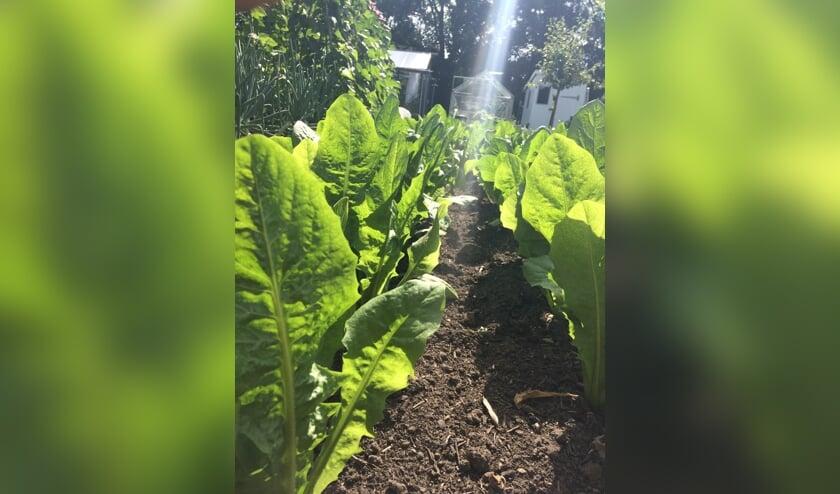 De volktuinders van De Bloemhof hebben afgelopen voorjaar hard gewerkt om de gewassen in hun tuinen te laten groeien en bloeien.