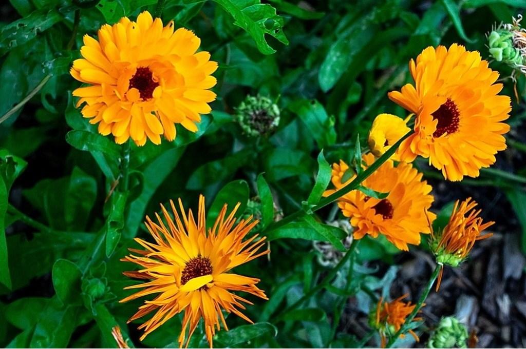 Behalve groenten worden ook bloemen gekweekt op de schooltuinen.  Foto: J.P.Kranenburg © uitgeverij Verhagen