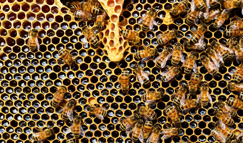 De honing is bedoeld als wintervoorraad. De imkers geven daarom suikerwater terug aan de bijen.