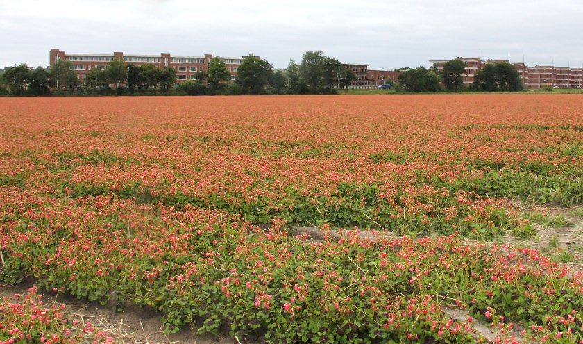 Het deel van Bronsgeest waar nu nog de Geluksklaver staat te bloeien moet behouden blijven voor de bollenteelt als fleurige entree van Noordwijk. | Foto: WS