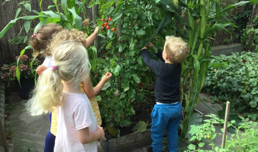 De kinderen van de Skol-opvang Nassaupark konden tomaten, frambozen, tuin- en sperziebonen uit de eigen moestuin oogsten.