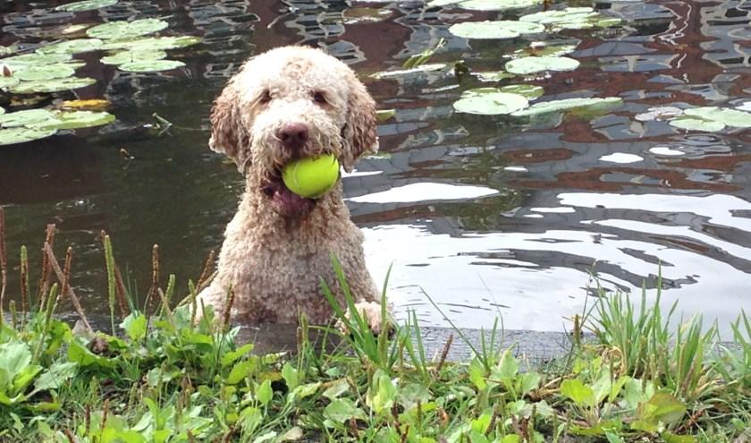 Zelfs uit het water wordt de tennisbal keurig teruggehaald.