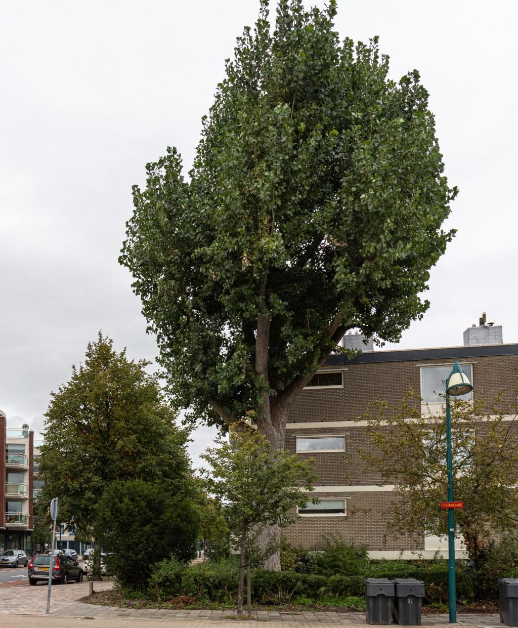 De boom die moet worden verwijderd. Foto: Wil van Elk © uitgeverij Verhagen