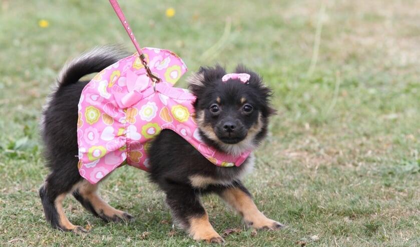 Een hond aangekleed als een speelgoedpop.