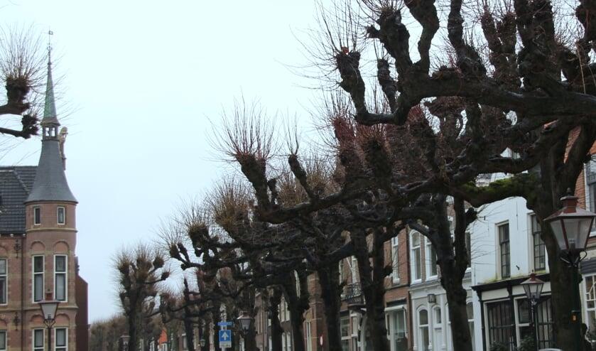 De eeuwenoude Lindebomen zijn sieraden in Noordwijk   Foto: Wim Siemerink