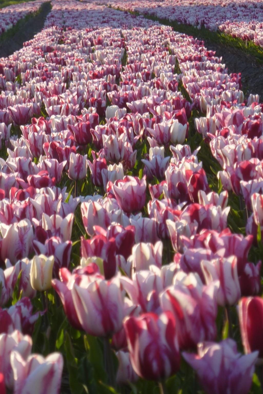 molen, tulpen Foto: pr./Adrie van Weeghel © uitgeverij Verhagen