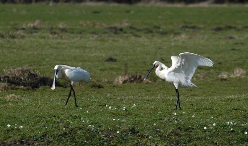 <p>Jaarlijks maken circa 3000 tot 4000 wintergastvogels gebruik van de Oosteinderpolder. | Foto: pr</p>