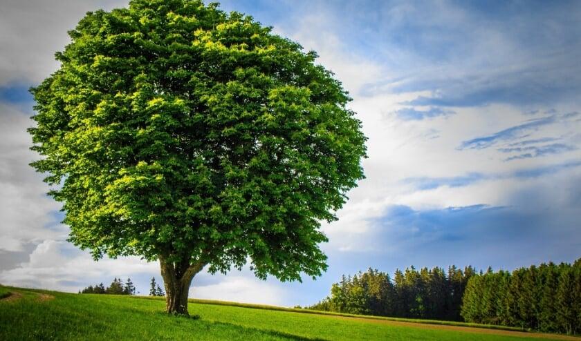 Een boom met een groot kroonoppervlak vermindert hittestress en vangt meer regenwater op.