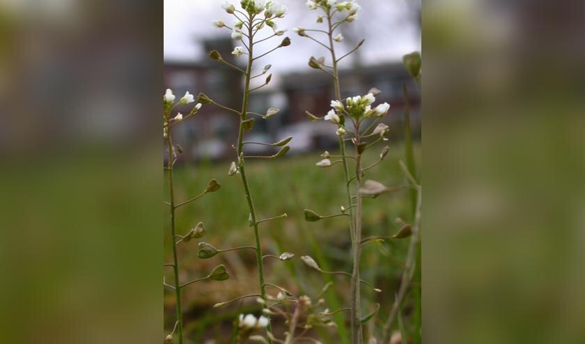 Het Herderstasje met z'n kleine witte bloemetjes en de typerende blaadjes.