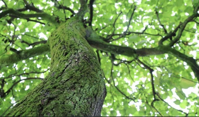 Leer bomen herkennen aan de schors, de bladeren, vruchten en bloemen.