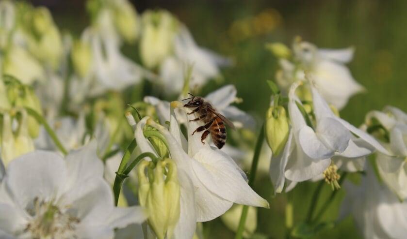 <p>Een honingbij maakt gebruik van een door een hommel gemaakt gaatje in de buis van de bloem van de akelei.</p>