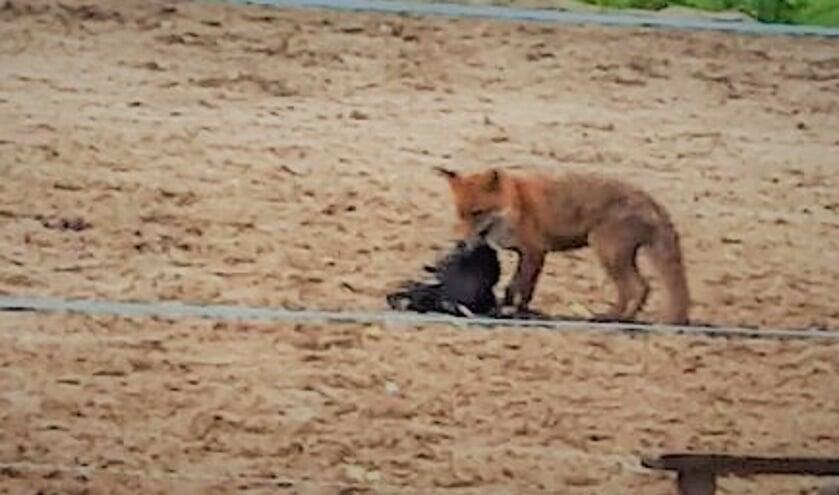 <p>De vos bij &eacute;&eacute;n van de kippen die hij doodde. Vossen doden soms meer dieren dan ze nodig hebben.</p>