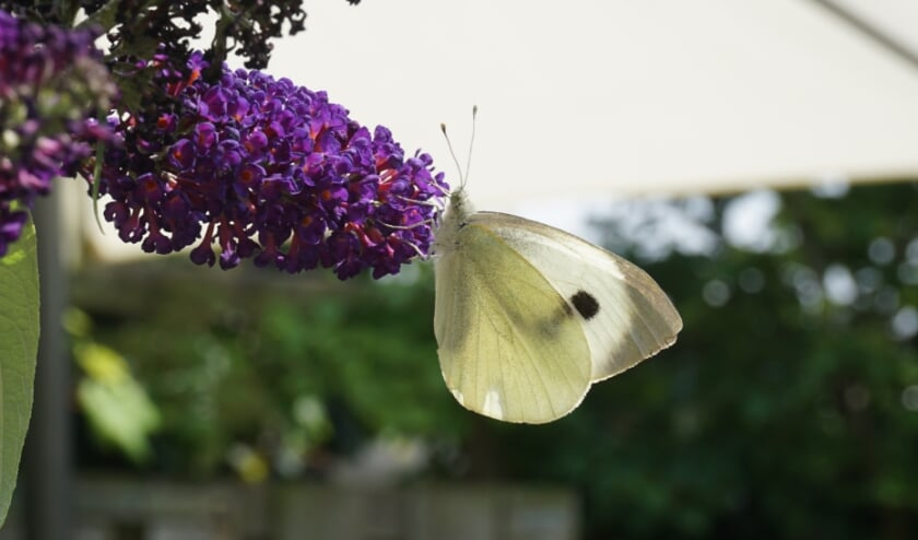 <p>Nu zijn er weinig vlinders maar straks komt de tweede generatie en zal er zeker ook weer een koolwitje op een vlinderstruik te zien zijn.</p>