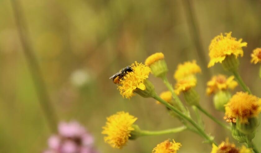 <p>Jacobskruiskruid is een belangrijke bron van nectar en stuifmeel voor tientallen soorten insecten.&nbsp;</p>