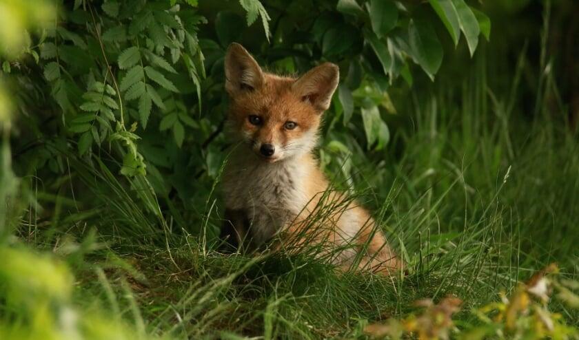 Er is zoveel te ontdekken in de Hollandse Duinen, zoals de vos.