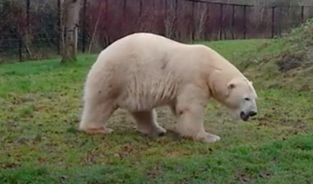 <p>De nieuwe ijsbeer Rocky.</p>