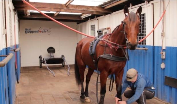 Fado wordt gesoigneerd en verzorgd om zo goed mogelijk voorbereid aan de start te staan.