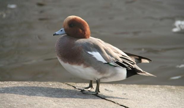 Smienten die in Waalenburg zijn aangetroffen, zijn overleden aan vogelgriep.