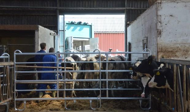 Koeien worden in de stal verzameld om op transport te gaan.