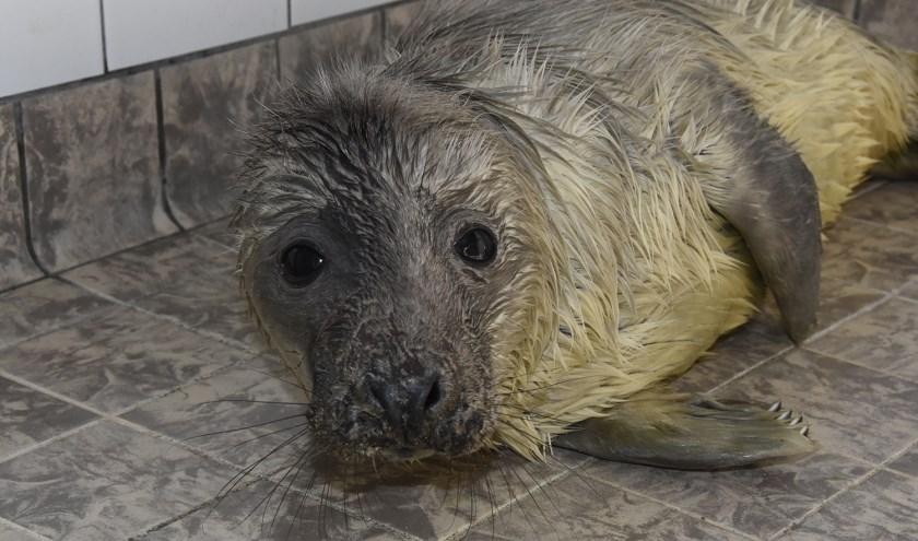 Jonge grijze zeehond Silver is een van de wintergasten in de opvang van Ecomare