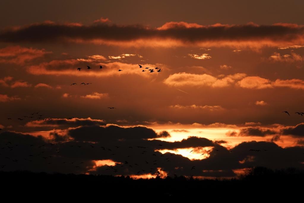 Brandganzen bij zonsondergang Jacques Deppe © Mediabureau Langeveld & De Rooy