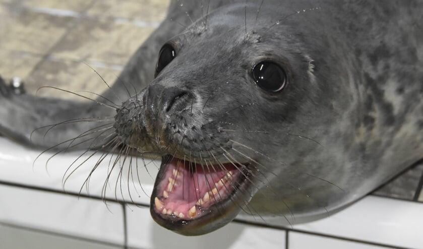 Jonge grijze zeehond in de opvang