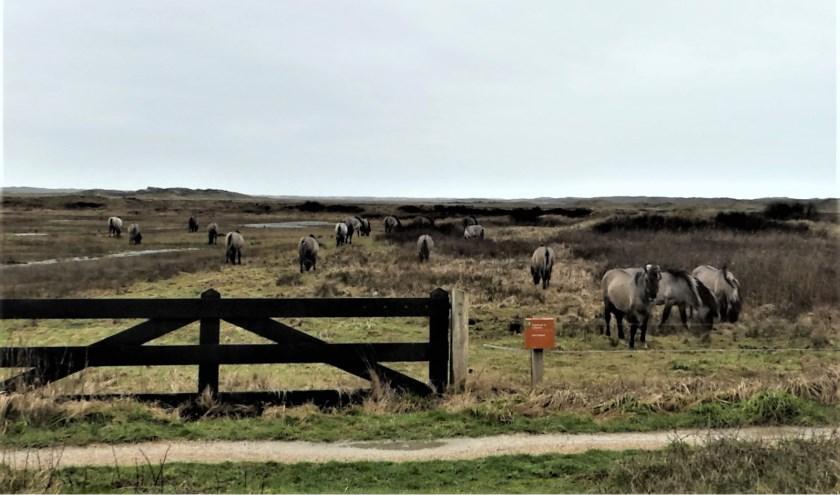 Alle negentien konikpaarden afgelopen woensdag in De Slufter.