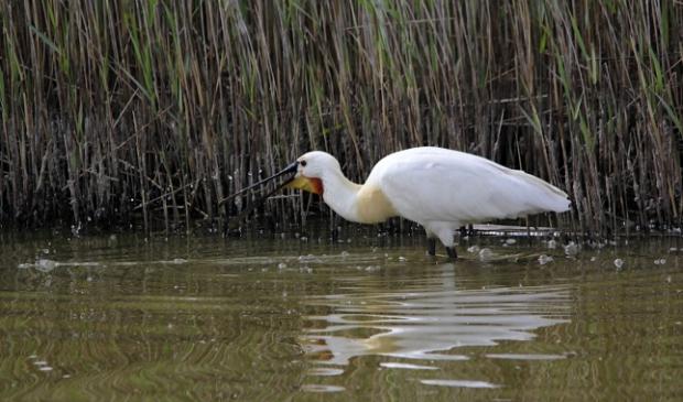 """""""Lepelaar langs de Lancasterdijk bij Krassekeet / Molen Het Noorden is voedsel aan het zoeken', schrijft Leon Verra bij deze prachtige foto. Het gaat goed met de Texelse lepelaars. Zo meldt bijvoorbeeld Texel Birds dinsdag: """"Vandaag de lepelaars geteld op De Schorren. 99 paartjes lepelaars zitten te broeden of hebben al jongen."""" Kijk hier onder voor meer mooie foto's van Leon en anderen."""