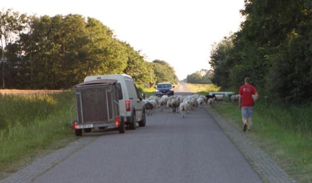 <p>Verplaatsing van de kudde.</p>