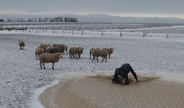 <p>Siem van Vlaanderen redt een schaap uit een kolk.</p>