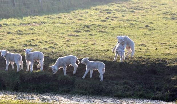 Lammetjes aan het spelen in de wei.