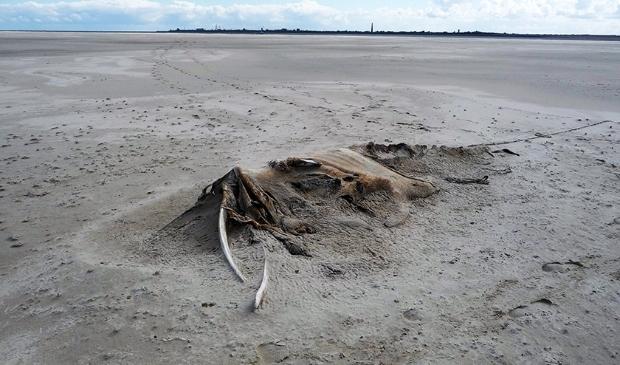 <p>De restanten van de dwergvinvis.</p>