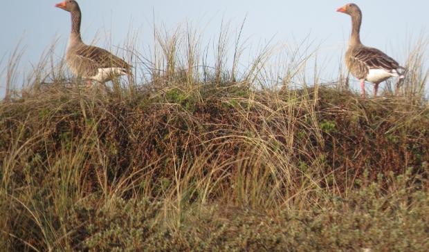 <p>De ganzen in alle rust op het eiland.</p>