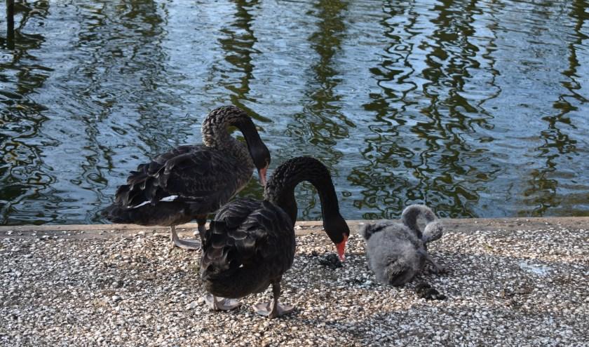 Een paar zwarte zwanen met jong in de Fûgelhelling.